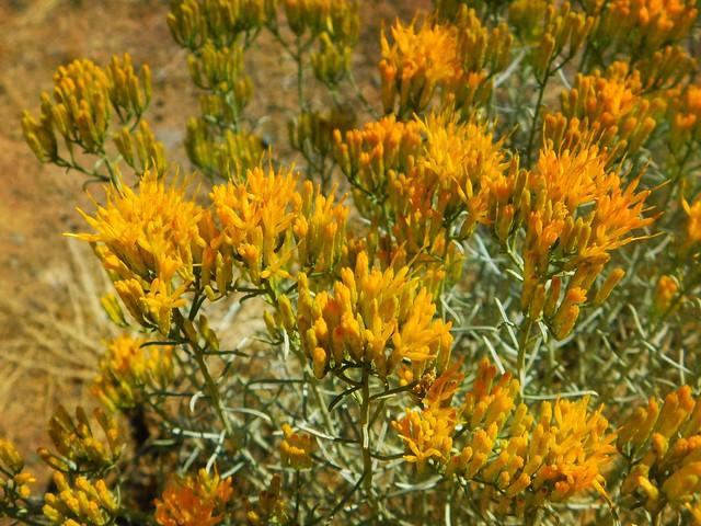 Nevada Sage Bloom