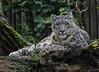 Snow leopard (Panthera uncia) by JirikD