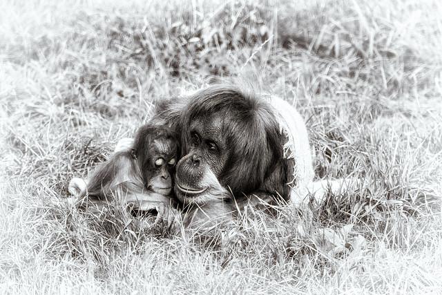 Orangutan 12 Oct 2017 (2)