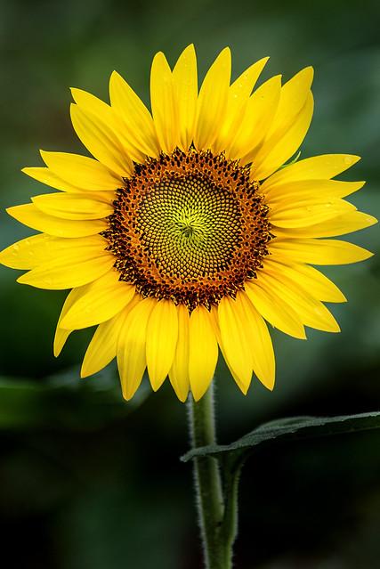 Perfect Sunflower 3-0 F LR 7-22-17 J108