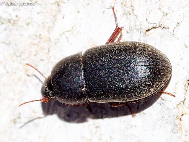 Escaravelho // Beetle (Crypticus gibbulus)