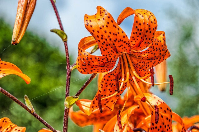 Tiger Lilies,Stourhead House and Gardens,Wiltshire.