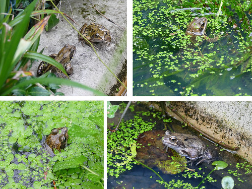 Frogs Oct25 2017 | by http://wildaboutthebritishisles.uk