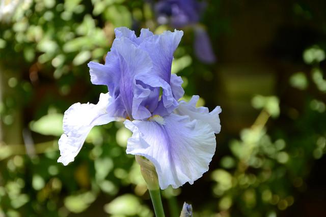 Floraisons 2016 de nos grands iris barbus et Bilan - Page 2 32558185835_3fda5a1672_z