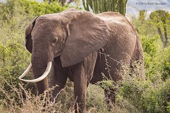 This majestic #elephant :elephant: crossed my path in western #Uganda  #EastAfrica. She was peacefully grazing with her family. In 1908, the population of #elephants in #Africa  was estimated that be 1.2 million. Now their numbers have plummeted to 350,00