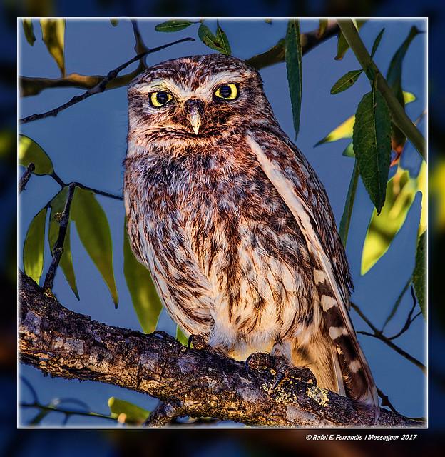 Mussol en ametler 17  (Athene noctua) Little Owl on Almond Tree (Quatretonda, la Vall d'Albaida, València, Spain)