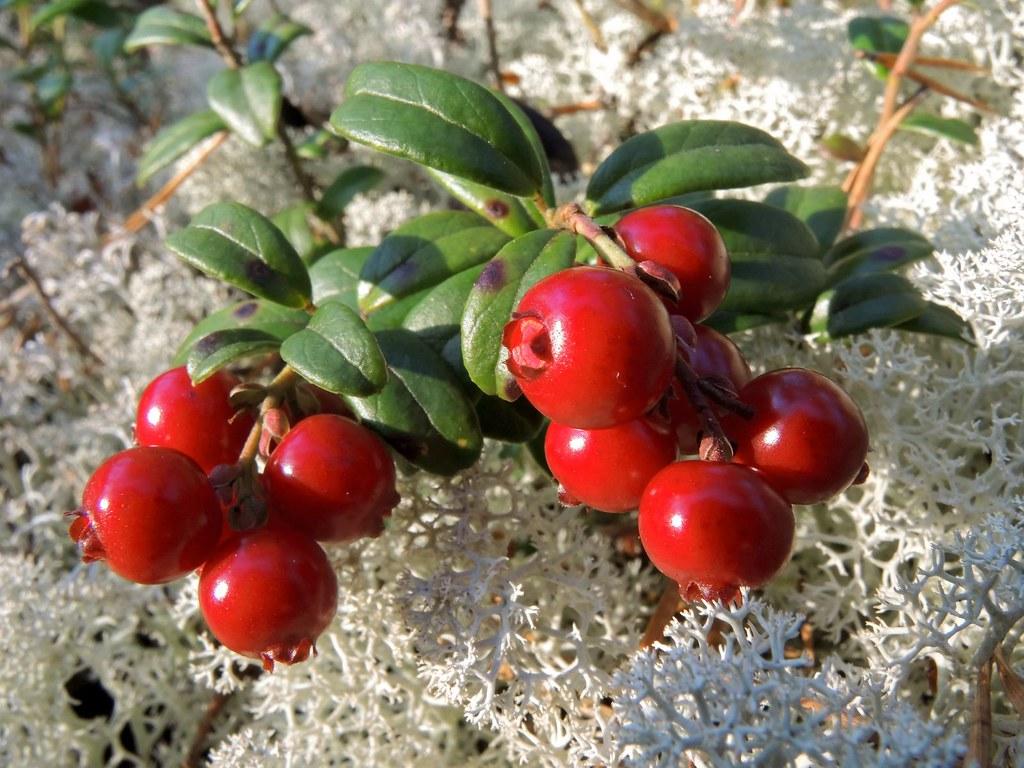 Cowberry Vaccinium vitis idaea   Gennady Alexandrov   Flickr