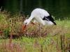 White stork by Corine Bliek