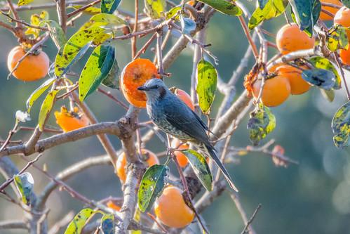 45 - 柿の木にヒヨドリ, Brown-eared Bulbul ー 鎌倉