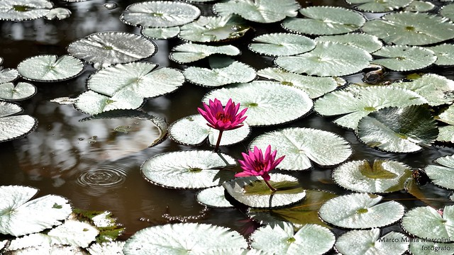 Nymphaea pubescens - Pink water-lily