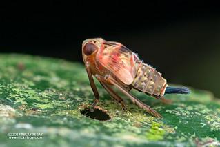 Planthopper nymph (Issidae) - ESC_0401