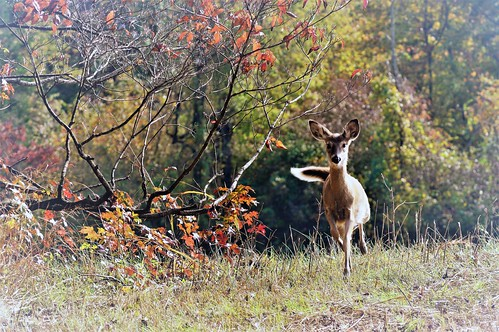Photo of deer running from a wooded area during fall