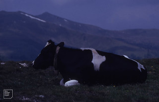 Cow with bell. Knocken Alpe 1990