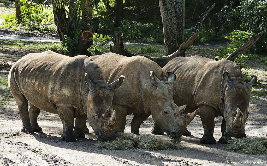 """A """"Crash"""" Diet   White Rhinos enjoyed a snack on the ..."""