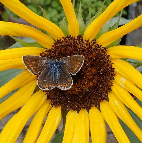 yellowdaisy commonblue polyommatusicarus icarus manyeyed shaffystuinamsterdamthenetherlands insect autumn sun