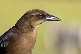 Sub-adult Female Great-tailed Grackle Profile | by brad.schram