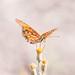 butterfly por apmckinlay