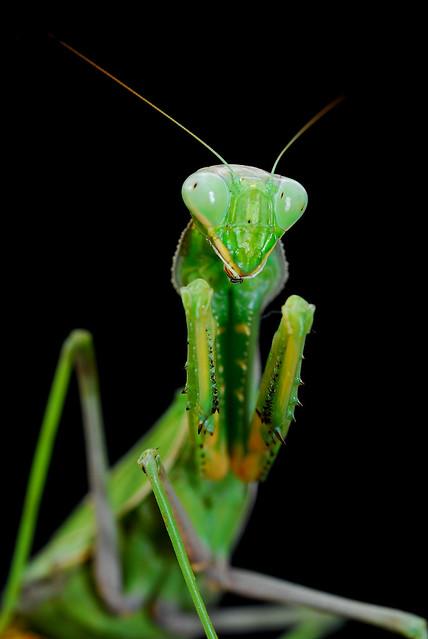 mantis verde