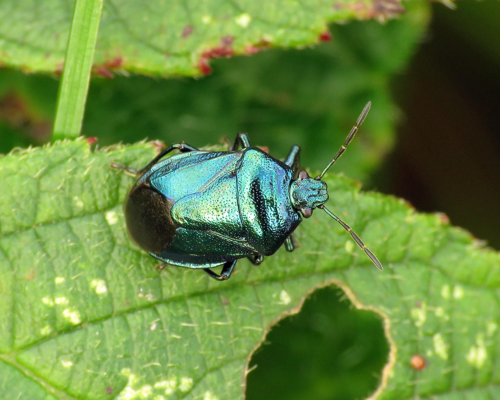 Blue Shieldbug - Zicrona caerulea