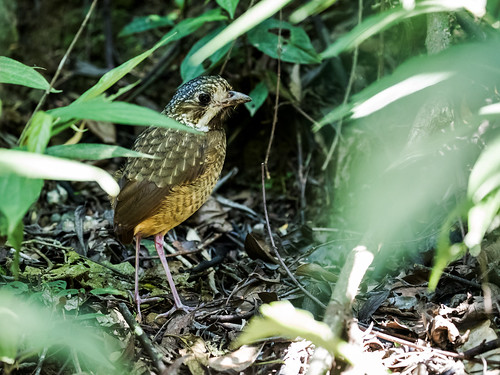 Variegated Antpitta | by nickathanas