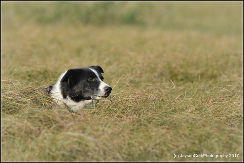 Sheep Dog at work | by JaysonCork