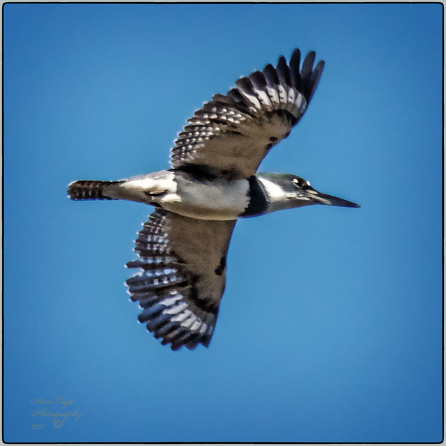 Male Belted Kingfisher Overhead