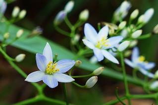 Rhuacophila javanica | by Ben Caledonia