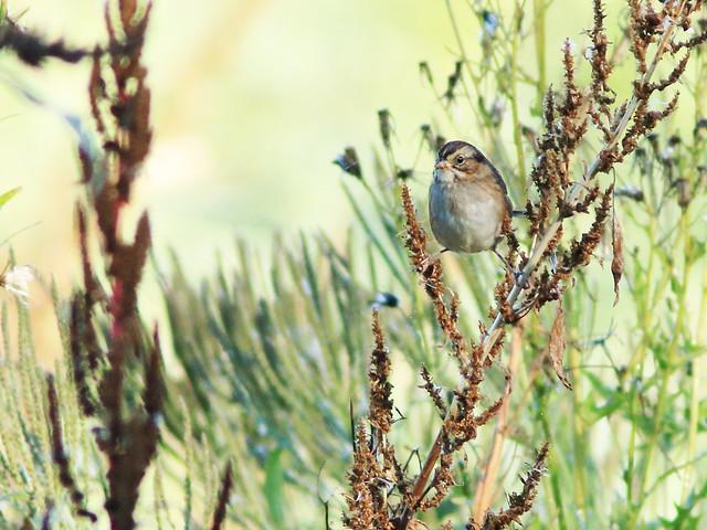 Swamp Sparrow 091-20171008