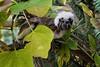 Cotton-top tamarin (Saguinus oedipus) by JirikD