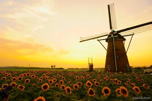 summer 夏 sunflower himawari ひまわり sakurafurusatohiroba furusato hiroba 佐倉ふるさと広場 sunset windmill 風車 landscape