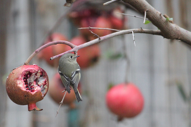 Ruby-crowned kinglet and my pomegranates.