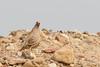 Sand Partridge (Ammoperdix heyi) קורא by Ron Winkler nature