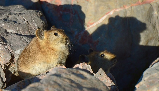 Tibetan Pika, called Dza dra. Tibet 2017