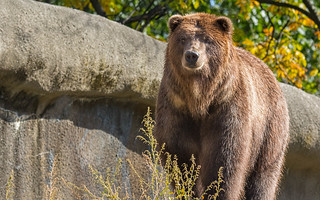 Grizzly Bear | by Craig Schriever