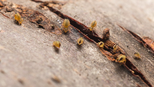 Family Fun with the Globular Springstails (Collembola / Dicyrtomina ornata and one D. saundersi)