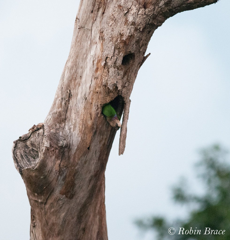 Red-fan Parrot in nest-hole