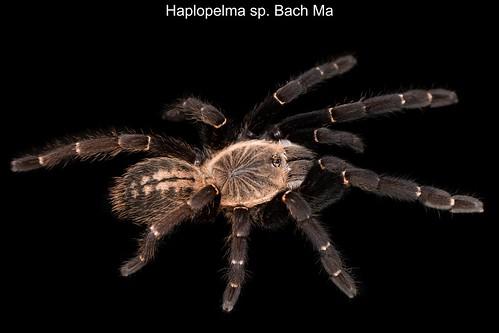 Haplopelma sp. bachma | by oldworldtarantulas