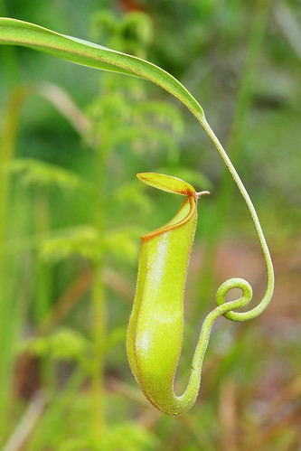 Nepenthes vieillardii | by Ben Caledonia