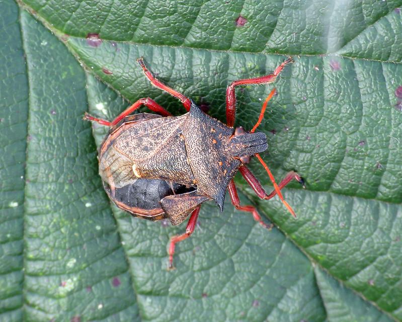 Spiked Shieldbug - Picromerus bidens