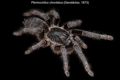 Pterinochilus chordatus | by oldworldtarantulas