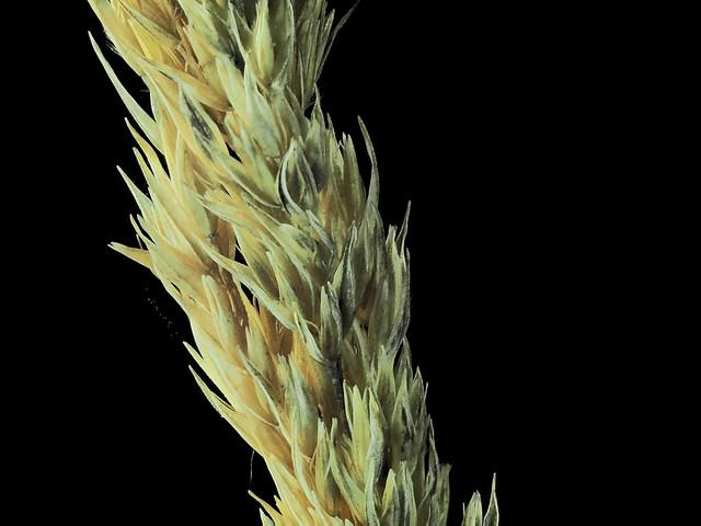 2017-10-14-14.28.20 ZS PMax Calamagrostis nutkaensis-1