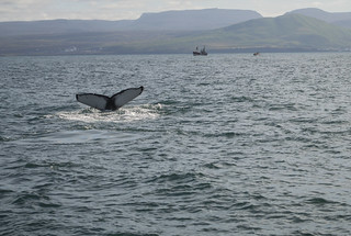 whale watching Iceland | by sharonjanssens