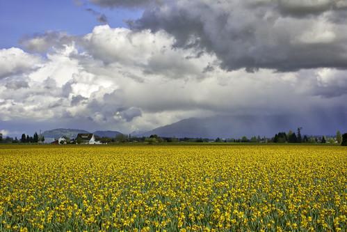 clouds flowers daffodils yelow rain storm landscape washington fields sky spring horizontal outside outdoors artsy