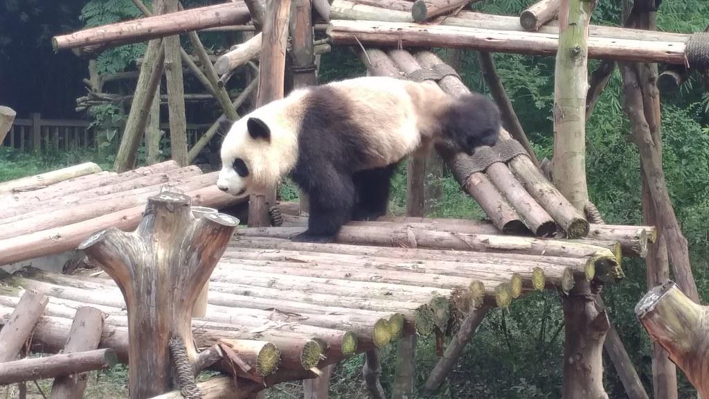 Chengdu Giant Panda 大熊貓 Research Base