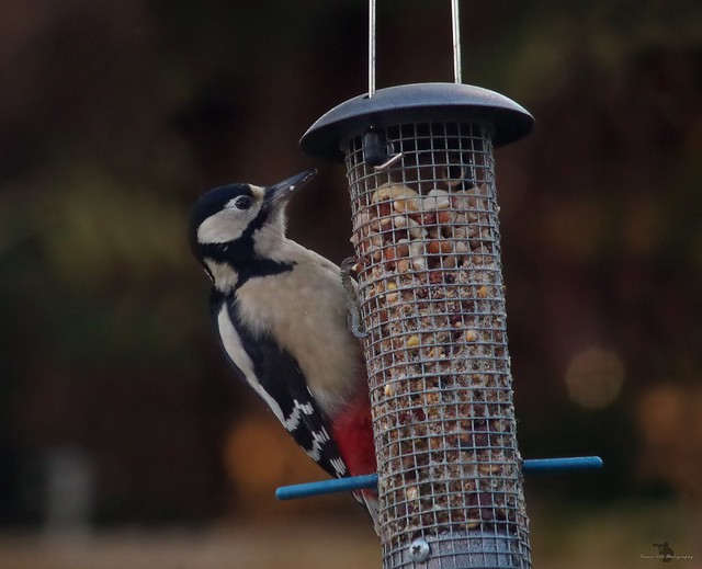 Great spotted woodpecker (2)