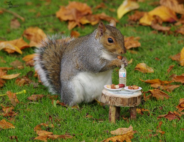 grey squirrel  with little picnic table in park autumn on grass  (6)
