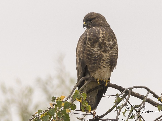 Common Buzzard at Nene Park 26/10/17.