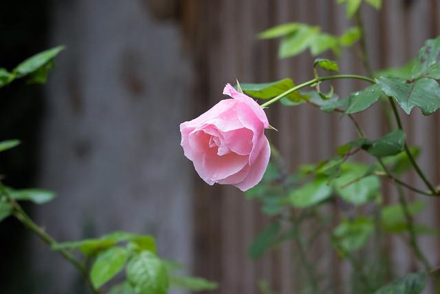 Pink Rose 1 (100)