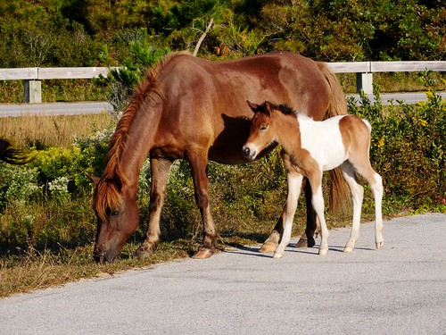 Photo of Assateague wild horse and foal