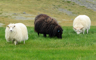 iceland-white-black-sheep | by quirkytravelguy